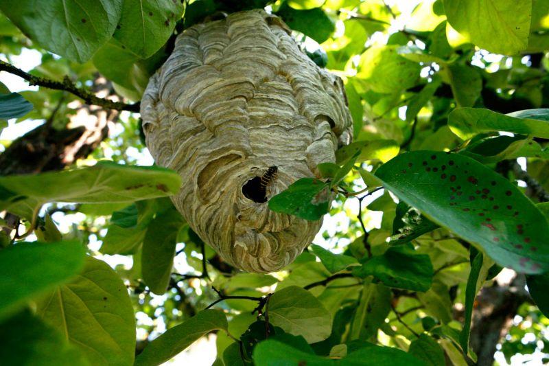 Essaim d 39 abeilles ferme apicole des neuf bonniers - Enlever nid de guepe ...
